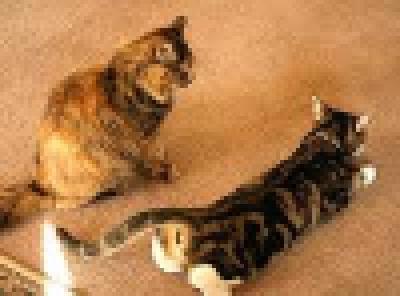 Katwaardig praktijk voor Kattengedragstherapie